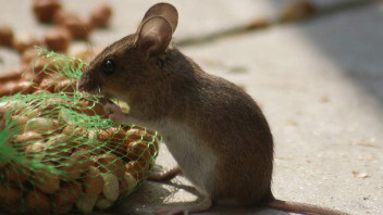 Mit Speck Fängt Man Mäuse Säugetiere Mammalia Das Neue
