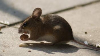 Mit Speck Fangt Man Mause Saugetiere Mammalia Das Neue