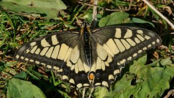 falterbestimmung nach farben gelb lepidoptera schmetterlinge das neue naturforum. Black Bedroom Furniture Sets. Home Design Ideas
